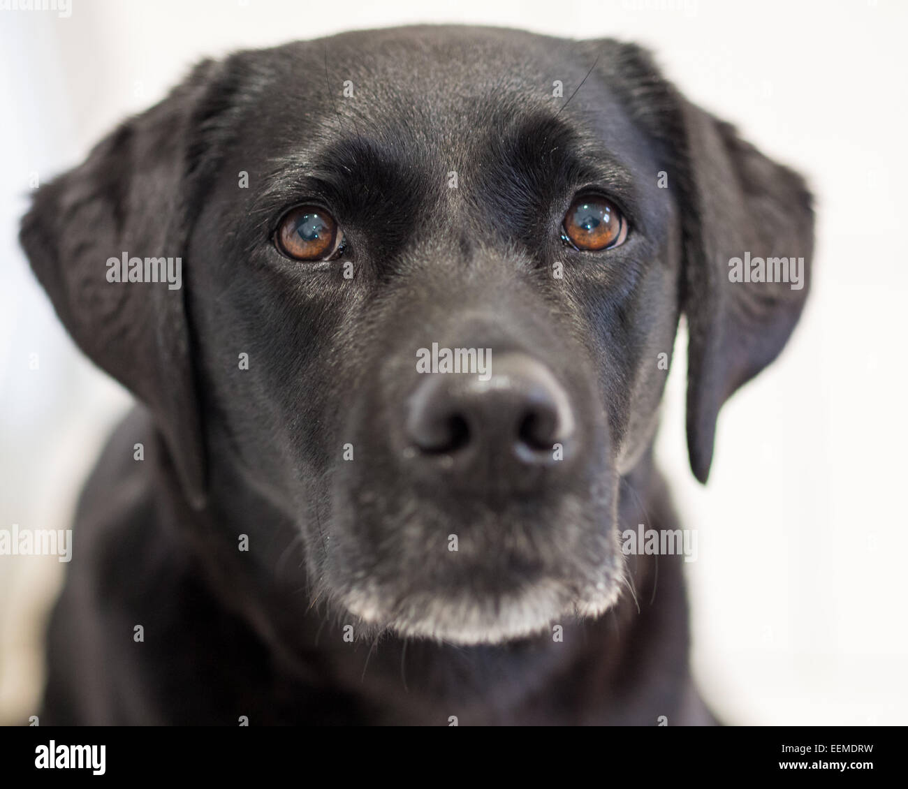 Large Dogs With Black Faces