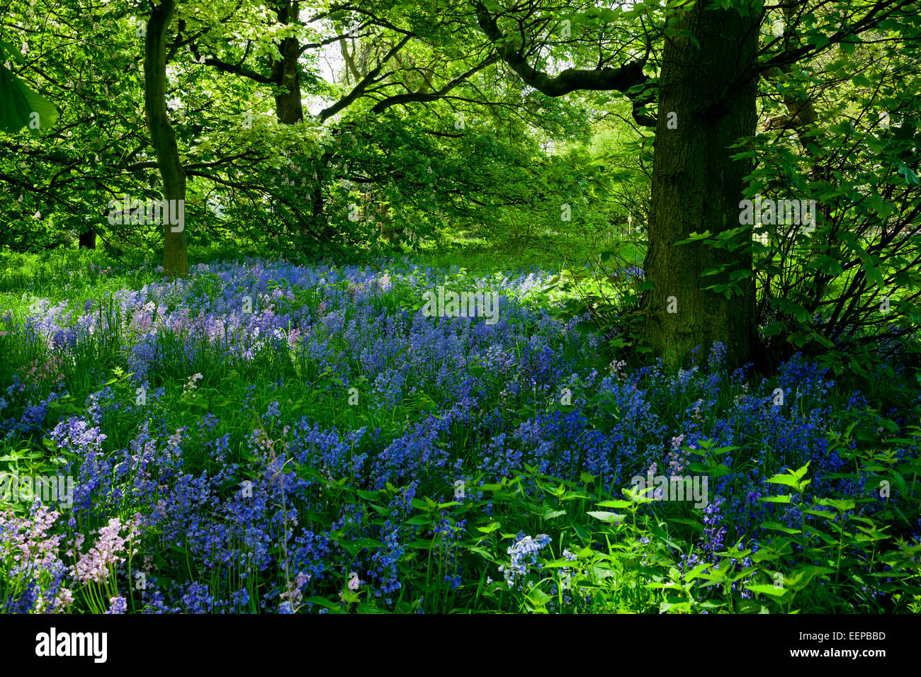 View of bluebells hyacinthoides non scripta a bulbous perennial stock photo view of bluebells hyacinthoides non scripta a bulbous perennial plant giving ground cover in woodland in spring sunshine dhlflorist Image collections