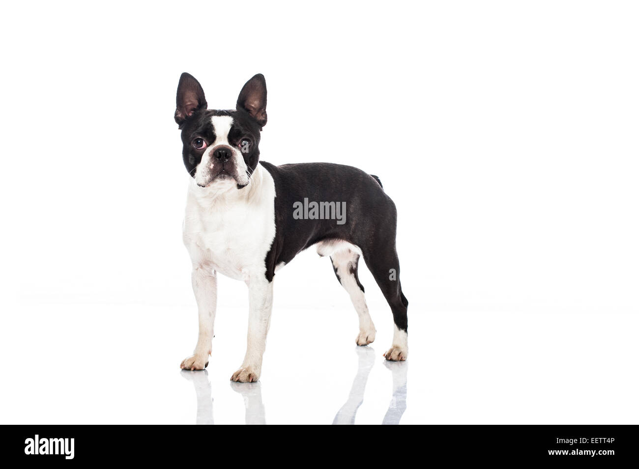 boston terrier stock photos u0026 boston terrier stock images alamy