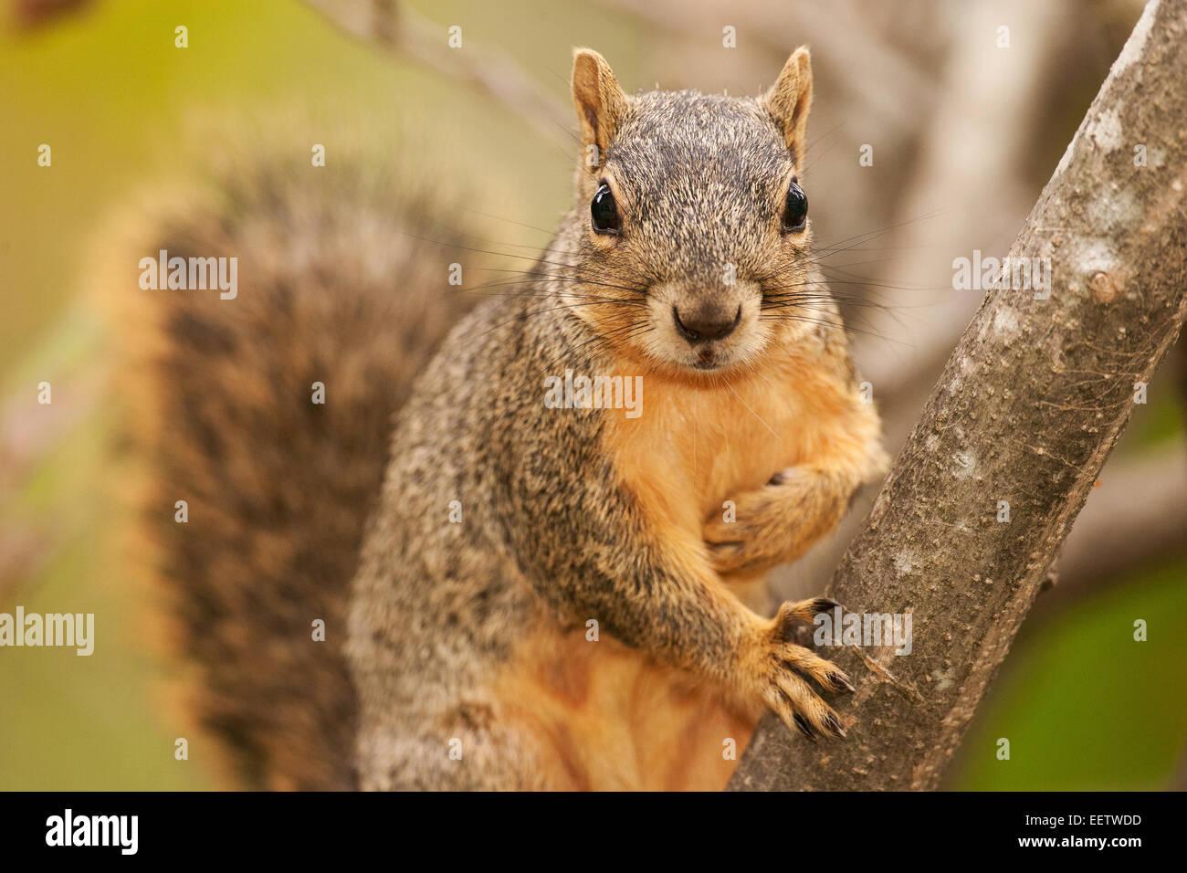 eastern fox squirrel climbing a tree in a backyard in houston