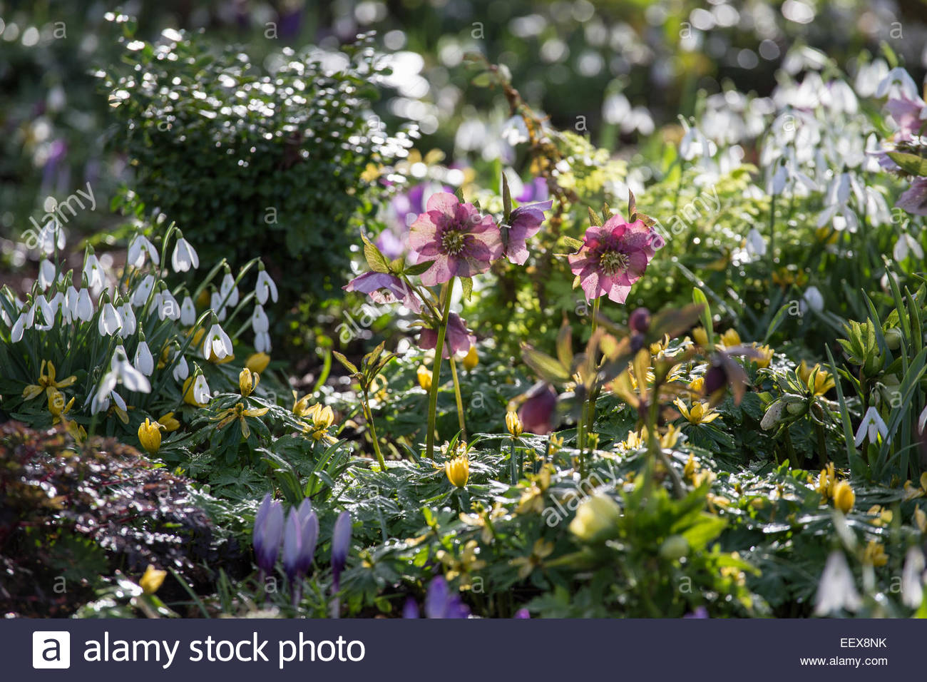 Spring Bulb Garden With Hellebores, Snowdrops And Winter Aconite