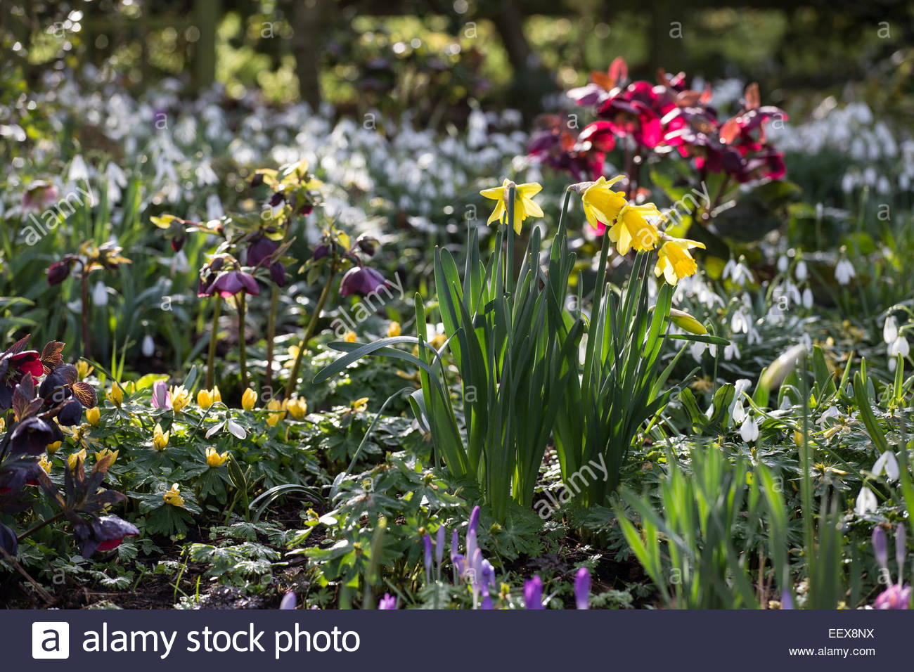 Spring Bulb Garden With Hellebores, Snowdrops And Daffodils