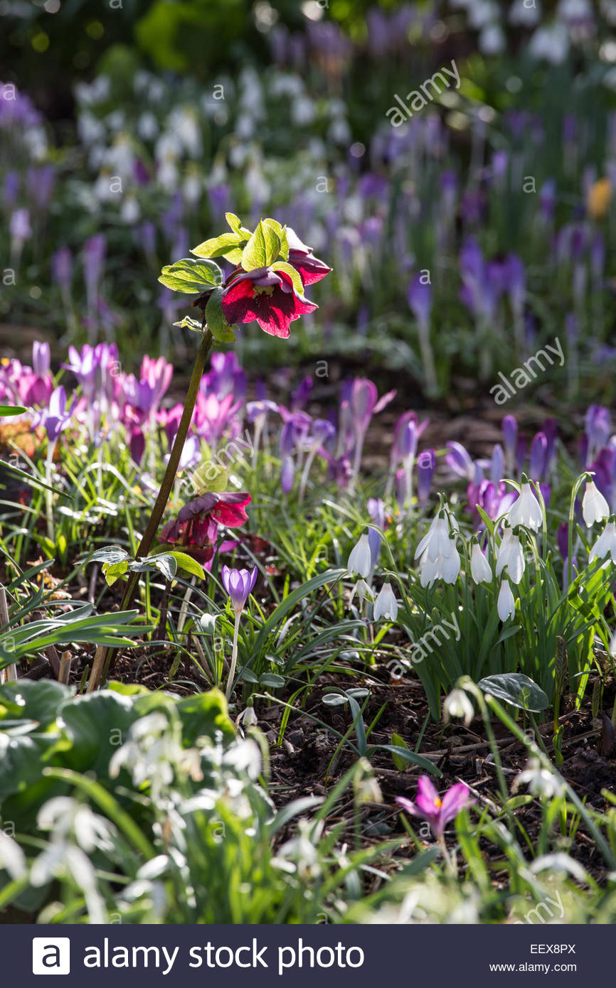 Spring Bulb Garden With Hellebores, Snowdrops And Crocus