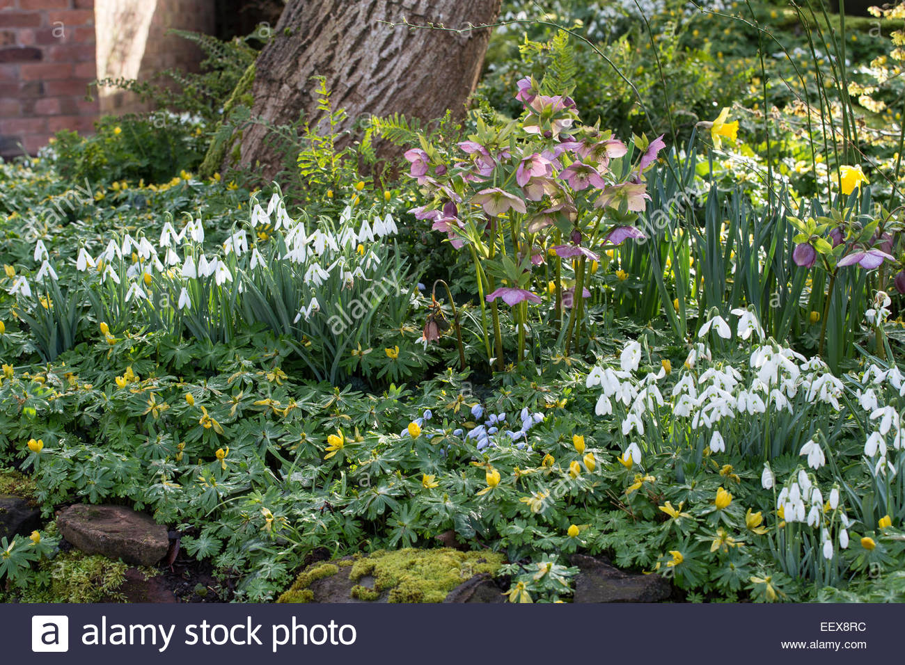 Dial Park, Worcestershire, Spring Bulb Garden With Hellebores And Snowdrops