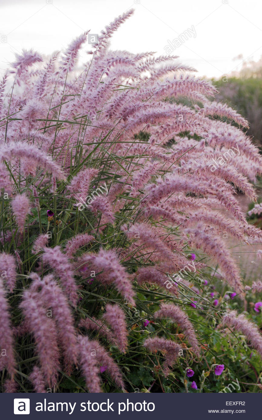 pennisetum orientale 39 karley rose at kwekerij jacobs jacobs garden stock photo 78029814 alamy. Black Bedroom Furniture Sets. Home Design Ideas