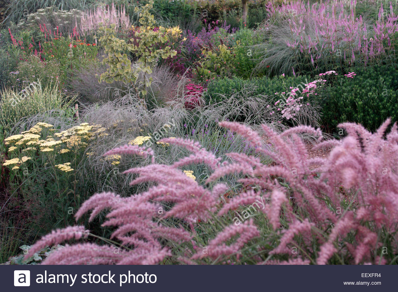 pennisetum orientale 39 karley rose at kwekerij jacobs jacobs garden stock photo royalty free. Black Bedroom Furniture Sets. Home Design Ideas