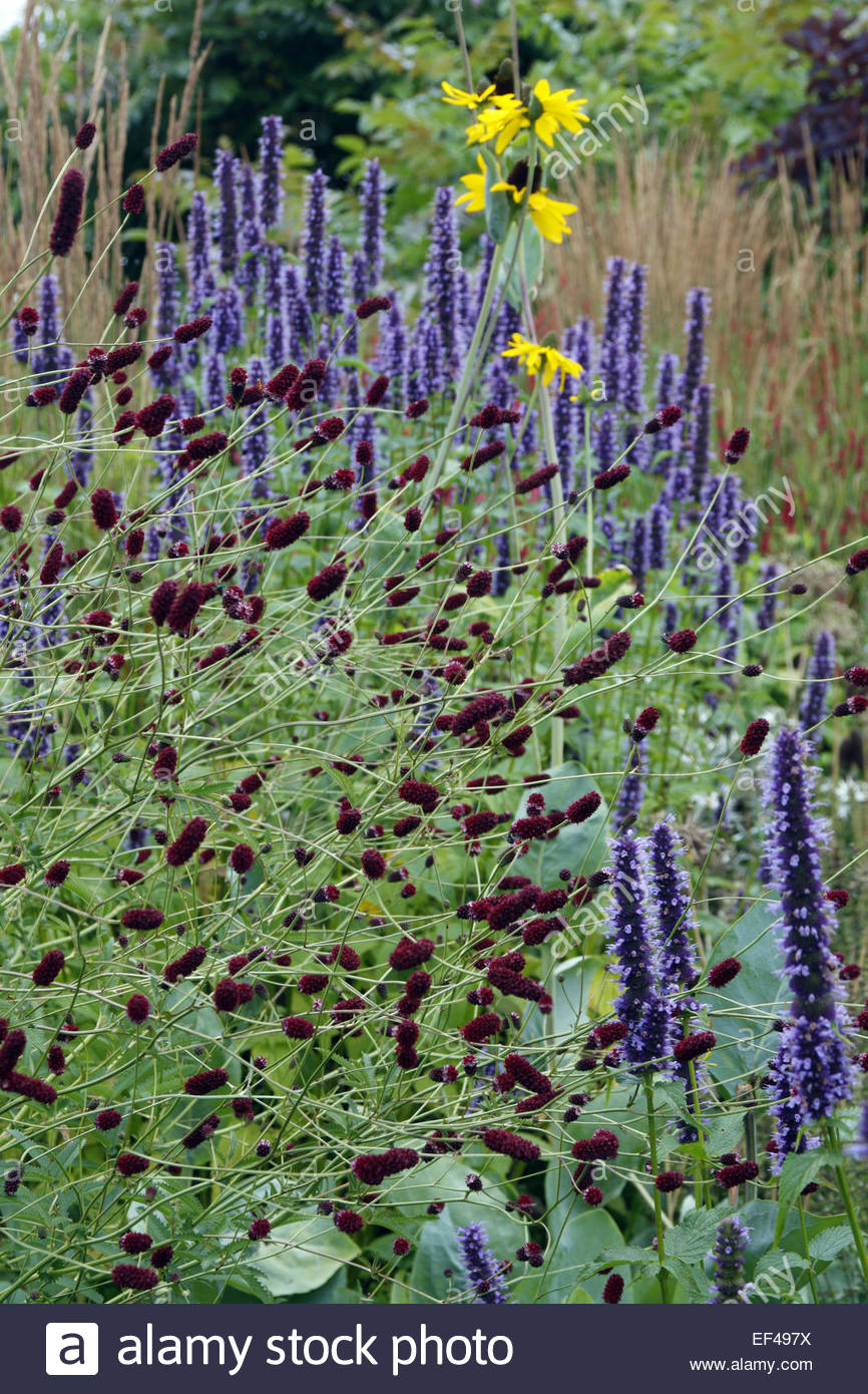 Sanguisorba officinalis 39 red thunder 39 with agastache for Sanguisorba officinalis red thunder