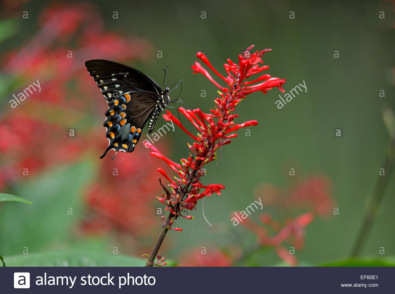 Black Swallowtail Butterfly On A Red Fire Spike Plant With A Green And Red  Background