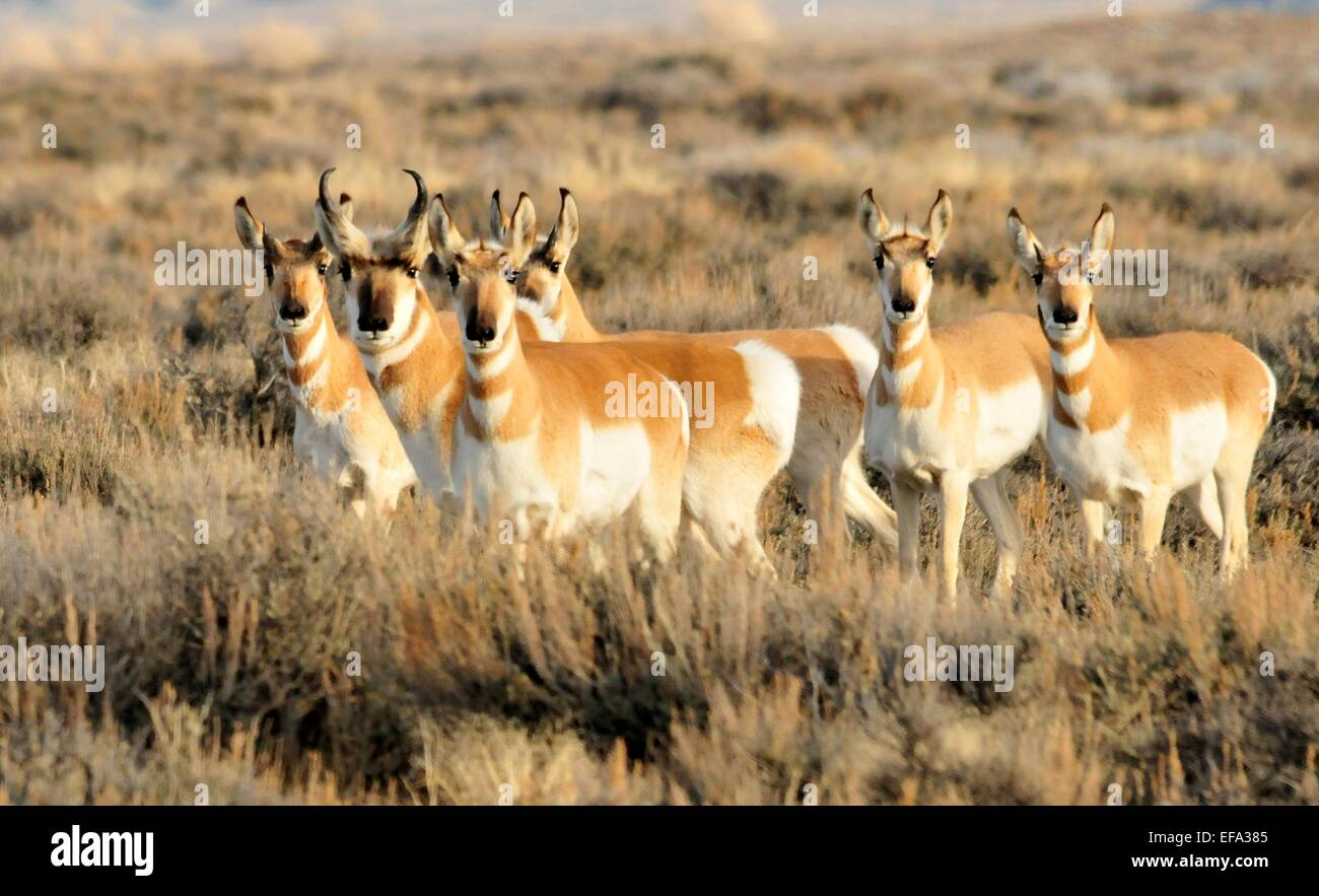 A pronghorn antelope herd in winter at seedskadee national for Nevada game and fish