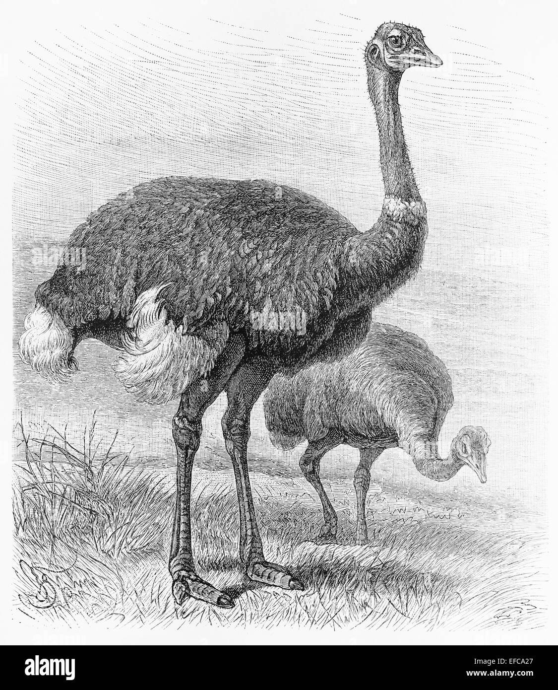 drawing of an ostrich stock photos u0026 drawing of an ostrich stock