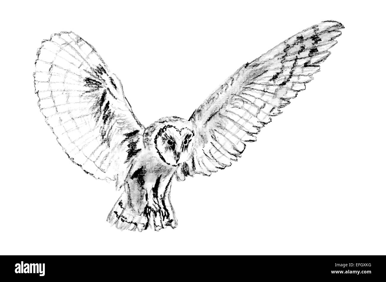 drawing of flying barn owl tyto alba