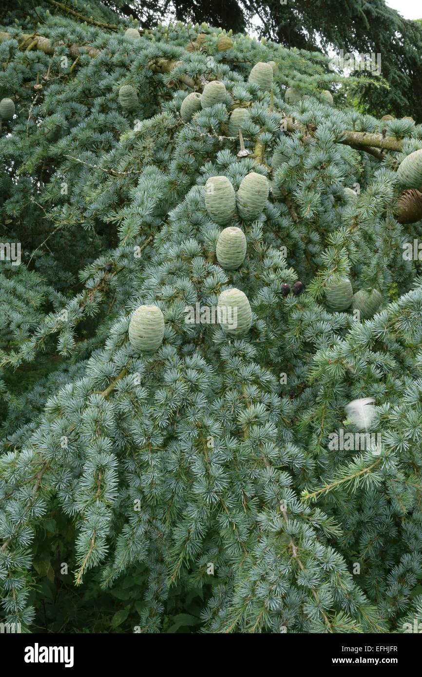 Mature Green Cones Of Deodar