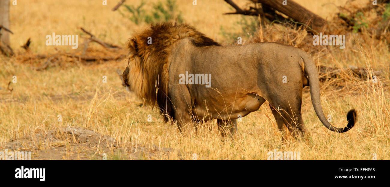 African Lion Symbol