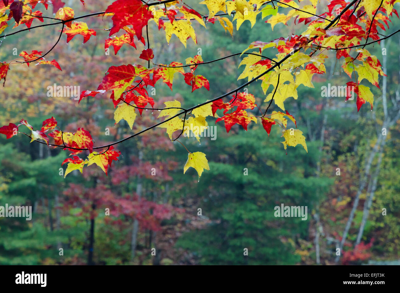 Colorful trees in Killarney Park in fall time, Canada Stock Photo ...
