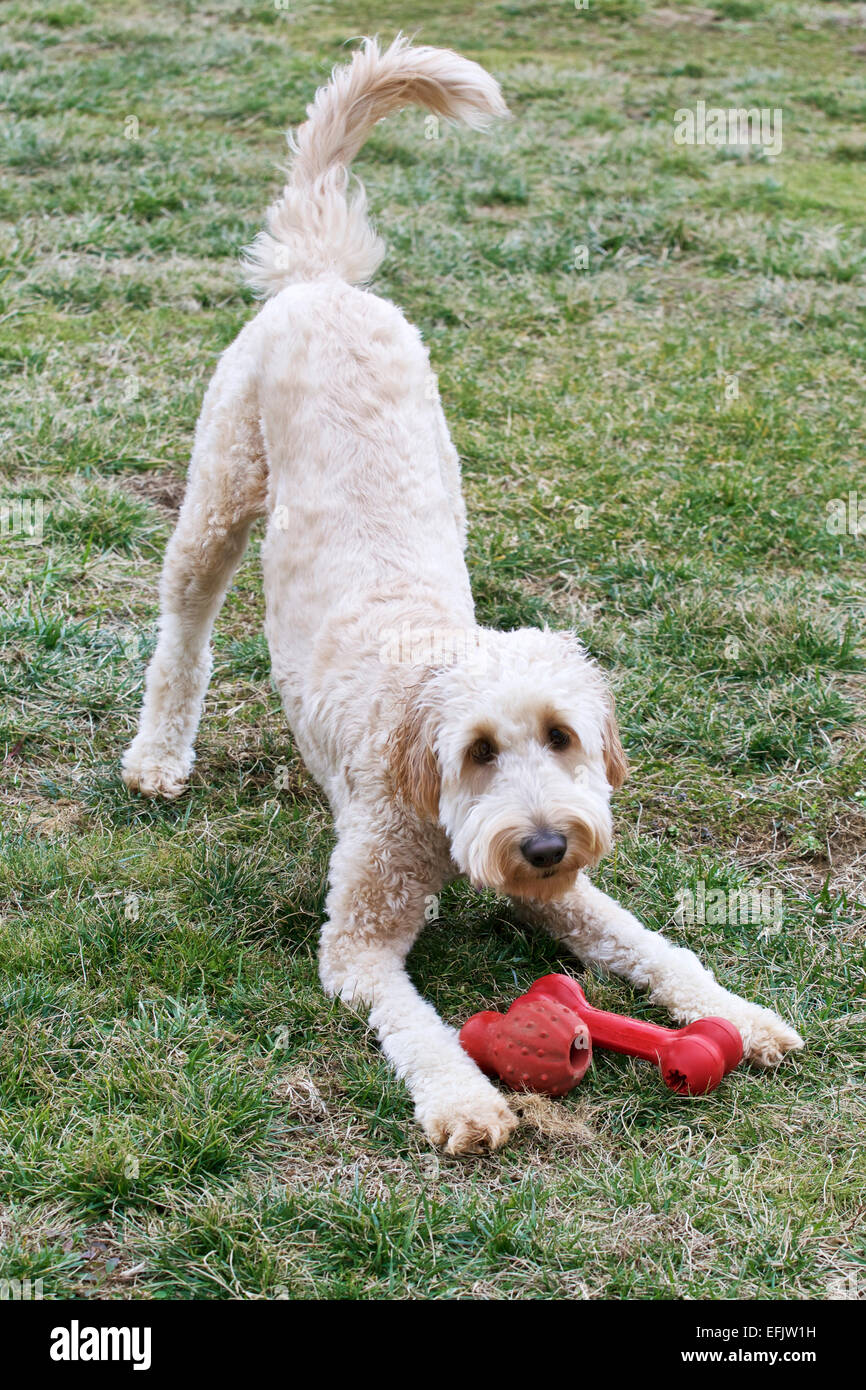 Happy Young Goldendoodle Dog Wagging Tail Wanting To Play