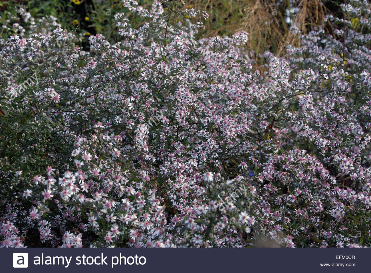 aster lateriflorus lady in black stock photo royalty