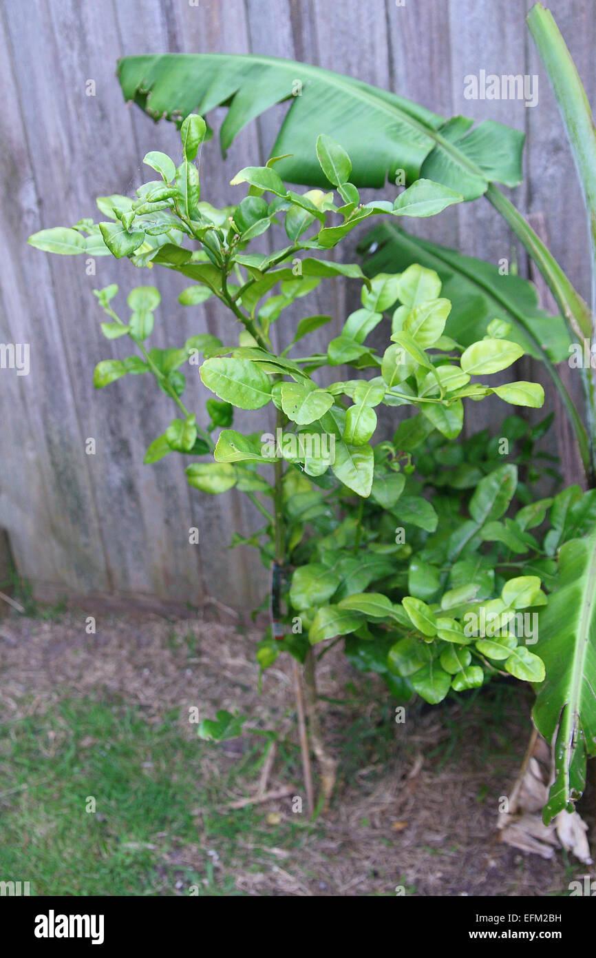 fresh kaffir lime citrus hystrix tree growing next to banana tree - Kaffir Lime Tree