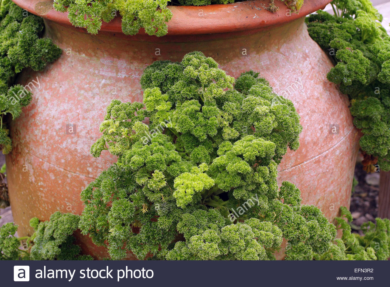 parsley growing in a terracotta strawberry pot