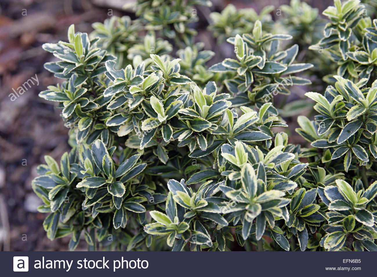 euonymus japonicus 39 microphyllus aureovariegatus 39 stock photo royalty free image 78527321 alamy. Black Bedroom Furniture Sets. Home Design Ideas