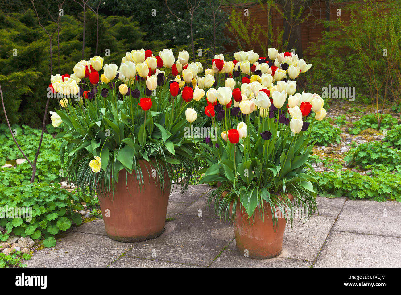 red blue and white tulips in large ceramic planters on a flagged flagged patio - Large Ceramic Planters
