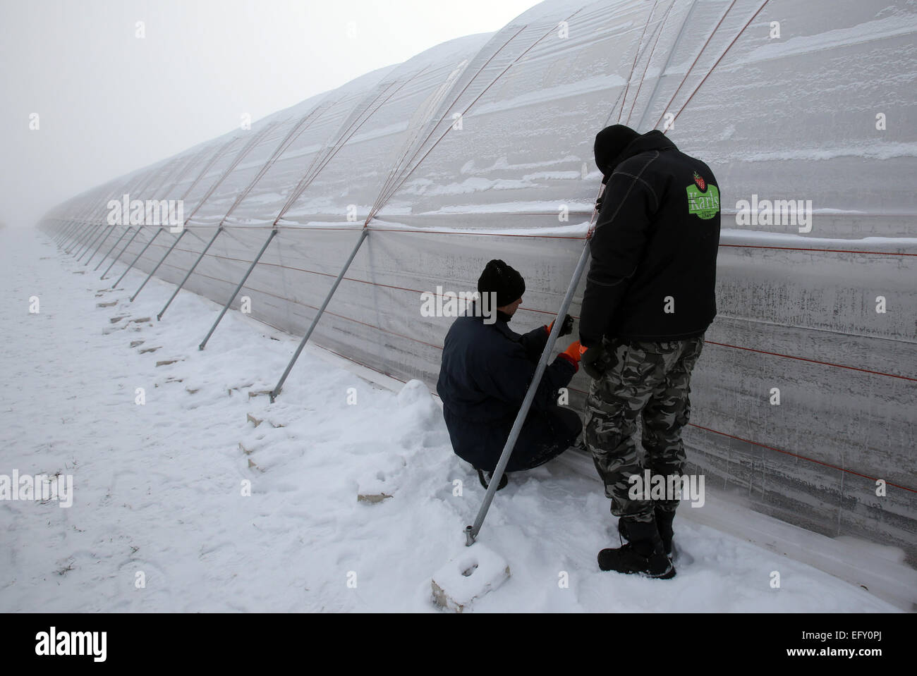 Employees of Karls Erdbeerhof strawberry farm build a long polytunnel in Roevershagen Germany 06 February 2015. Until 20 February 2105 all plastic tents ... & Roevershagen Germany. 06th Feb 2015. Employees of Karls ...