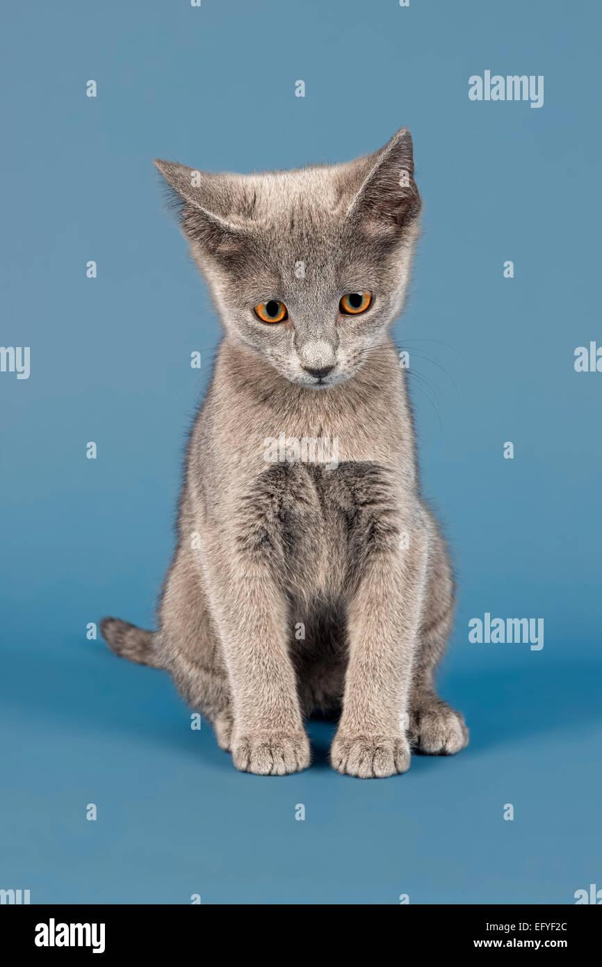 Russian Blue cat kitten 10 weeks Stock Royalty Free Image