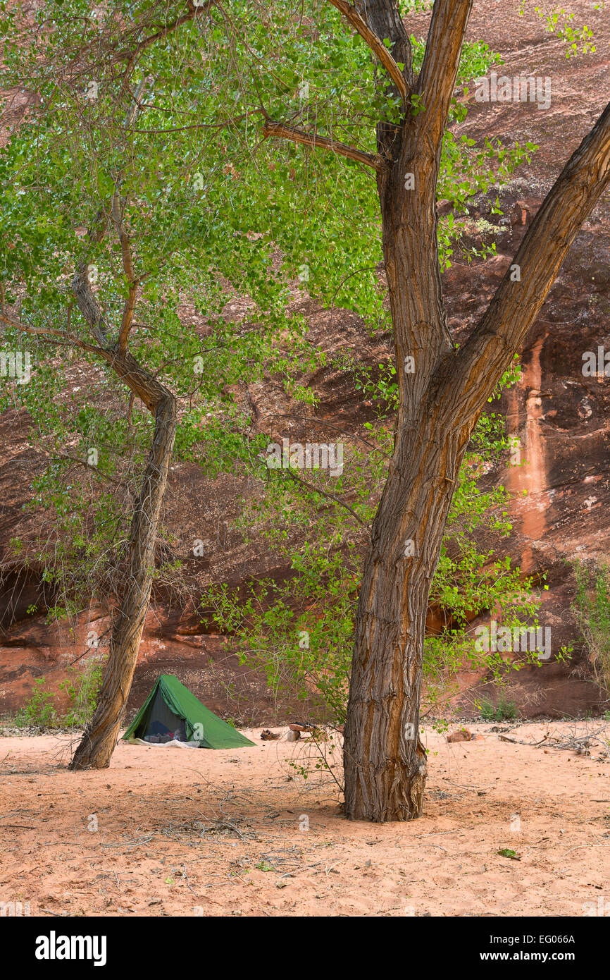 A tent c& amongst cottonwoods in Coyote Gulch part of the Glen Canyon National Recreation Area. Utah. spring & A tent camp amongst cottonwoods in Coyote Gulch part of the Glen ...