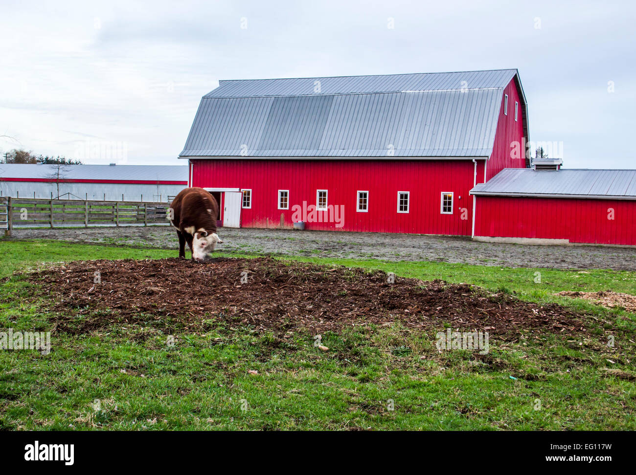 A hereford bull outside a red hip roof barn on a farm in for Hip roof barns