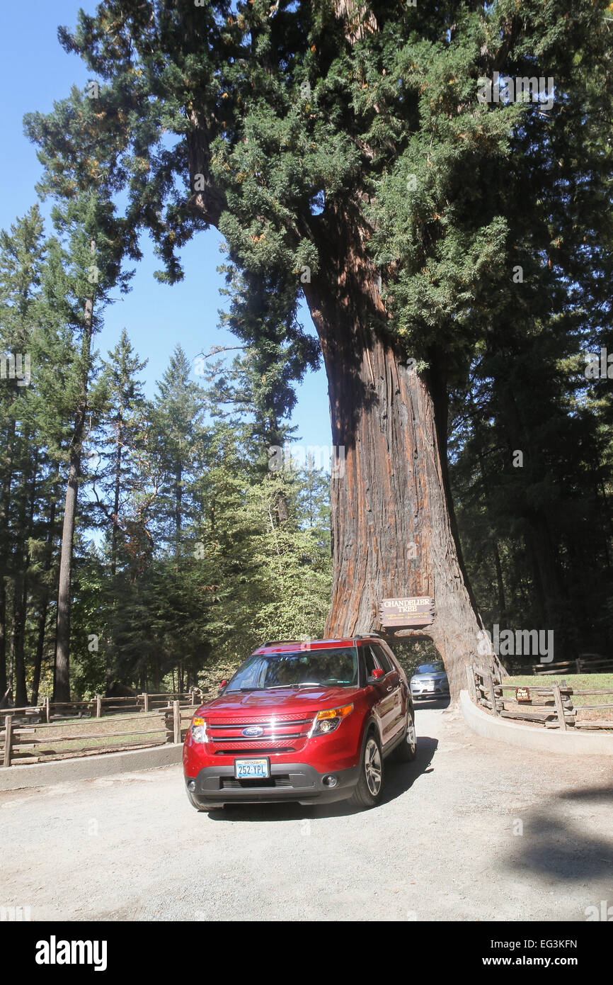 Vehicles drives through the chandelier tree in leggett california stock photo vehicles drives through the chandelier tree in leggett california united states arubaitofo Images
