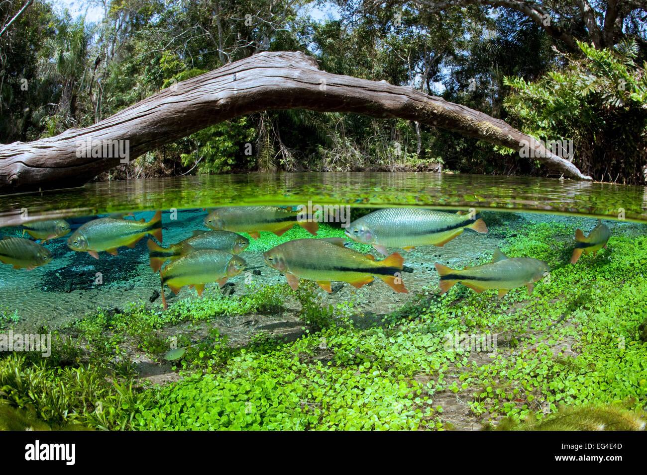 Piraputanga fish brycon hilarii split level in the main for Fish on main