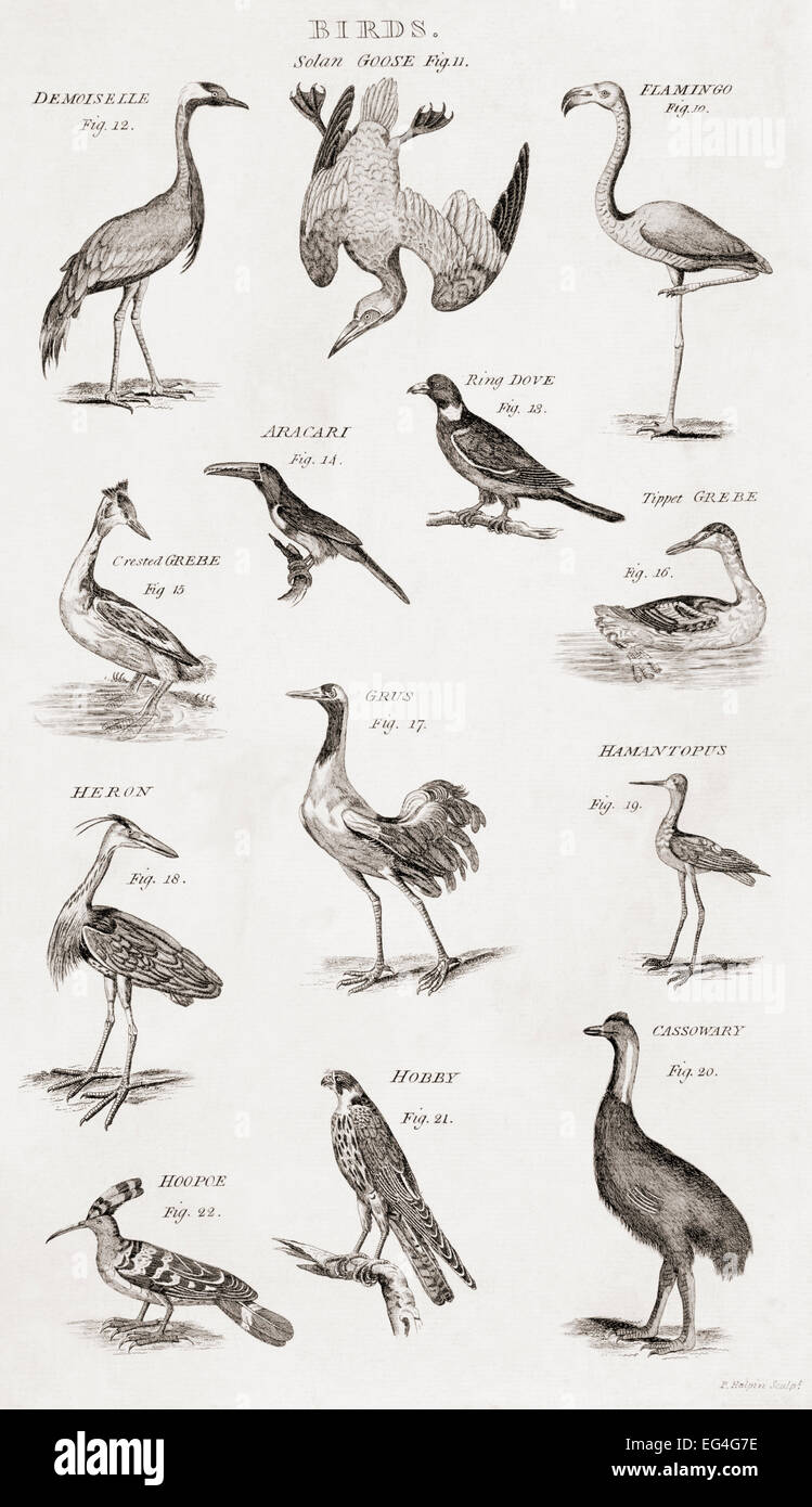 different types of birds from an 18th century print stock photo