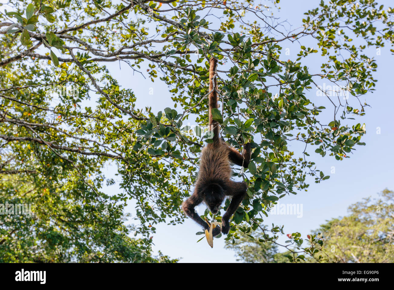 monkey eating a banana while hanging upside down from a tree