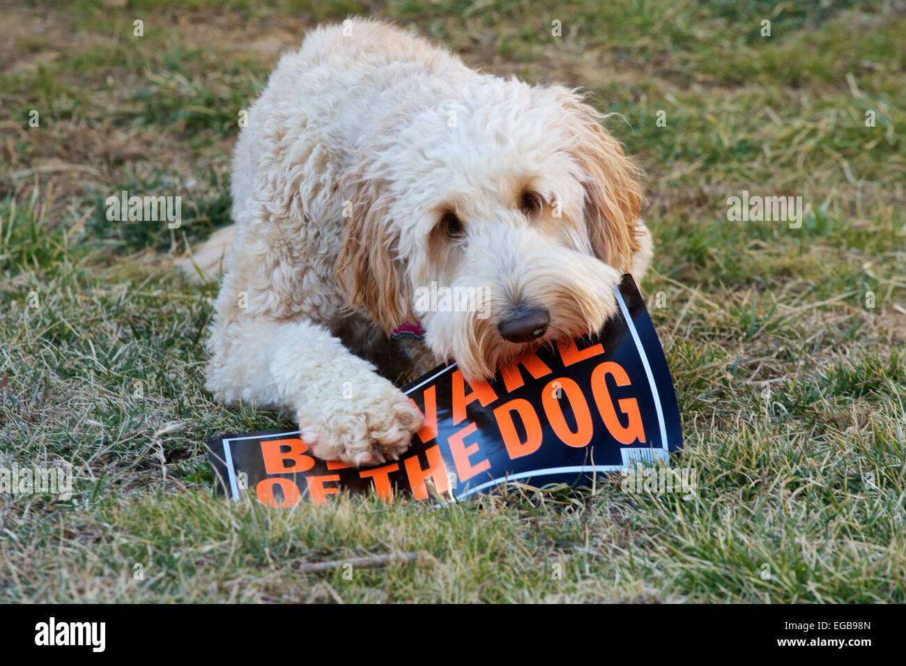 young female goldendoodle dog in backyard holding