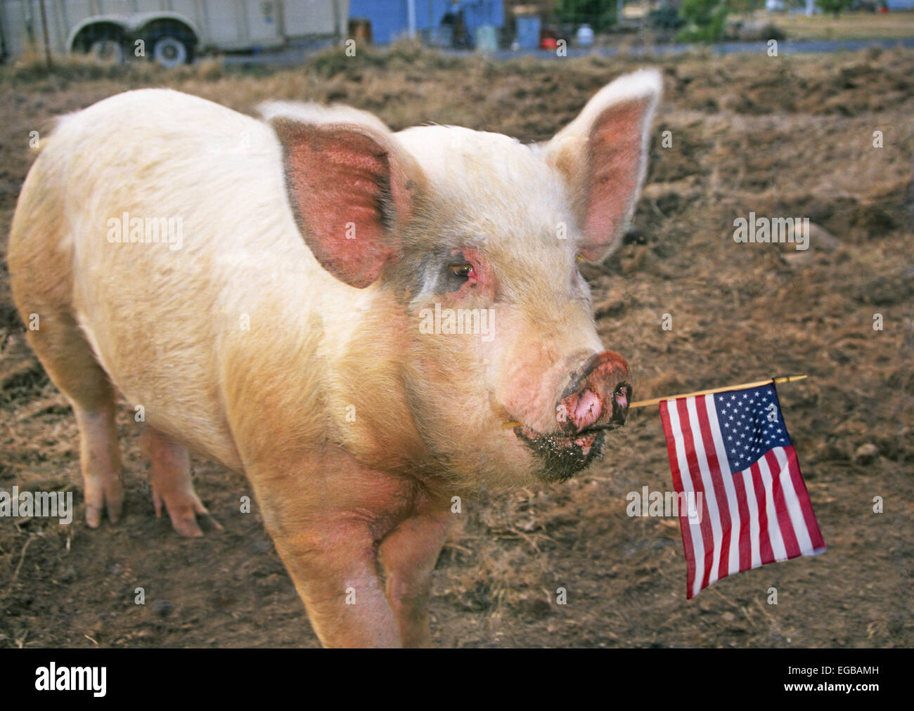 american male pig essay Essay today in this great country of ours, there is an animal that stalks the face of our land an animal that'll stop at very little to obtain it's nightly goal.