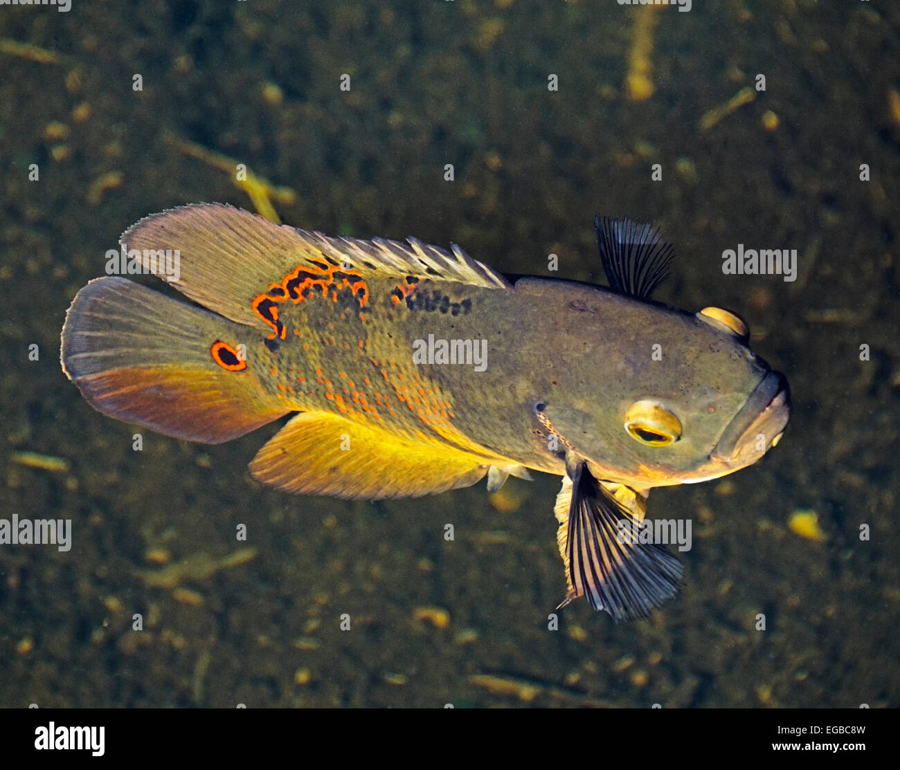 Oscar fish astronotus ocellatus is non native invasive for Florida freshwater fish species