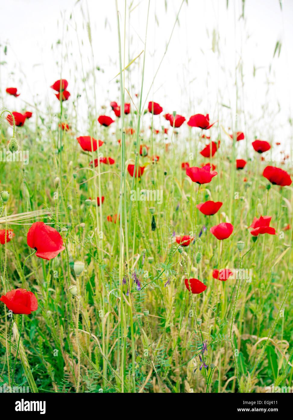 Turkey flower field grass poppy stock photo royalty free image turkey flower field grass poppy mightylinksfo
