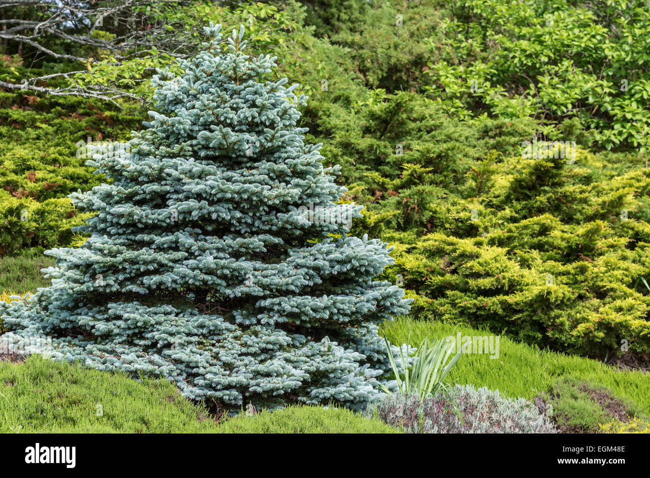 Decorative Blue Spruce : Perfectly formed ornamental blue spruce picea pungens