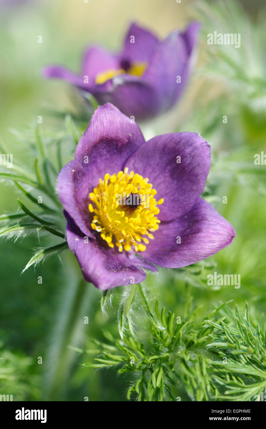 Pasque flower pulsatilla vulgaris close front view of one open pasque flower pulsatilla vulgaris close front view of one open purple flower with masses of yellow stamens and surounded with furry feathery foliage mightylinksfo Choice Image