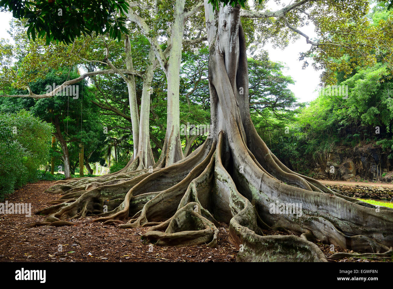 gnarled roots of ficus trees in allerton national tropical botanical garden within lawau0027i valley - Ficus Trees
