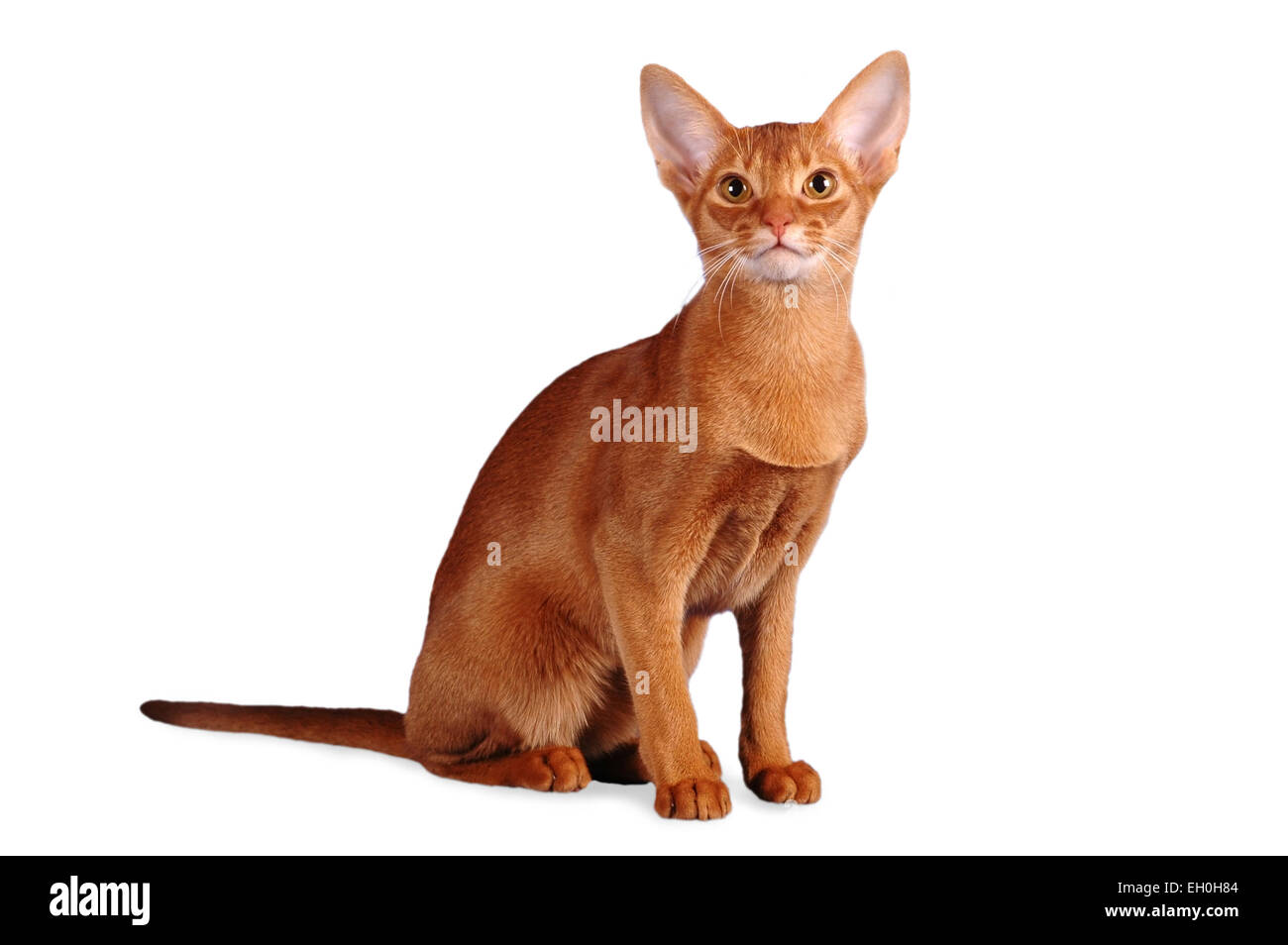 Abyssinian cat sitting isolated on white Stock Photo, Royalty Free ...