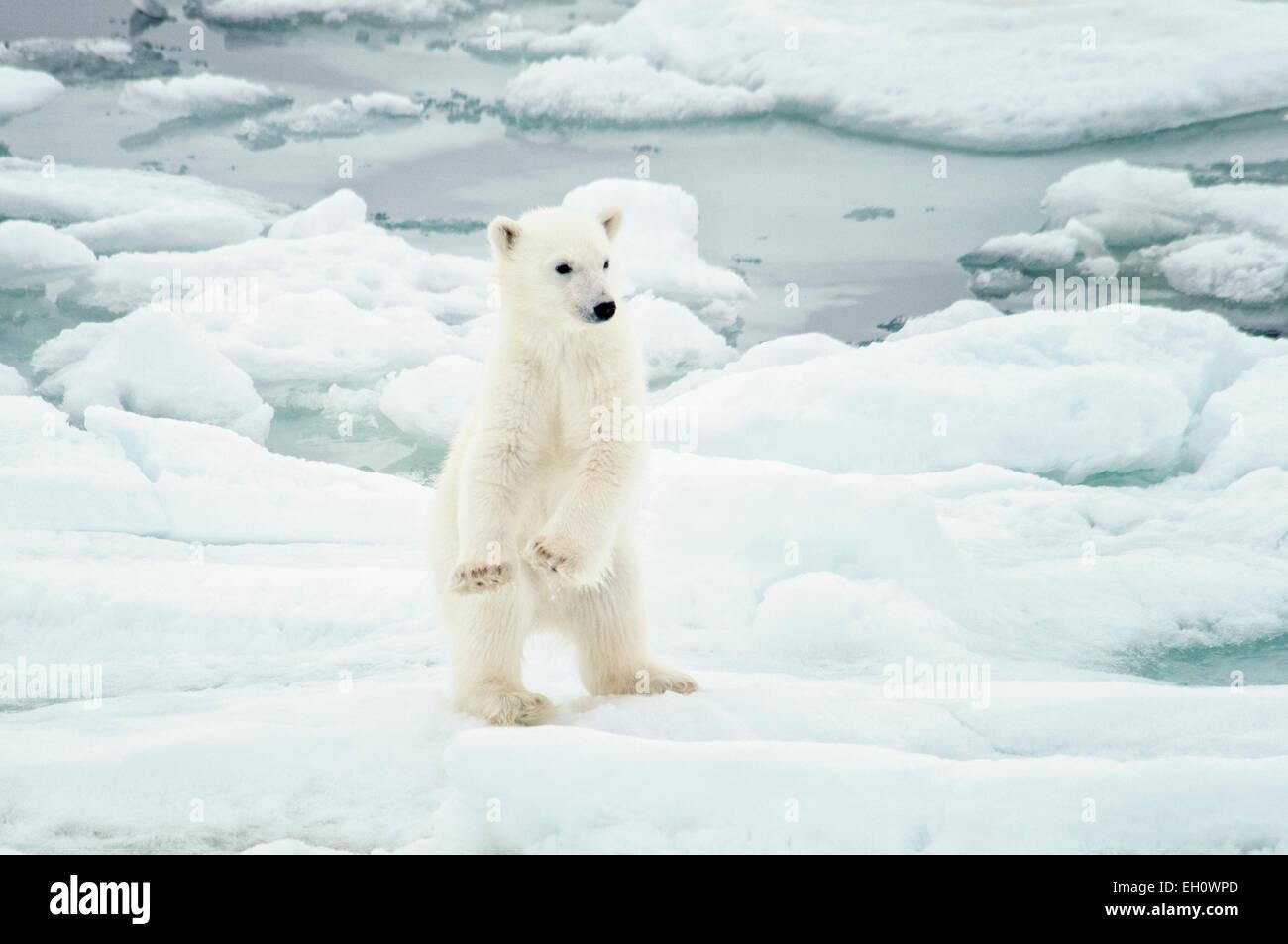 cute-polar-bear-cub-ursus-maritimus-stan