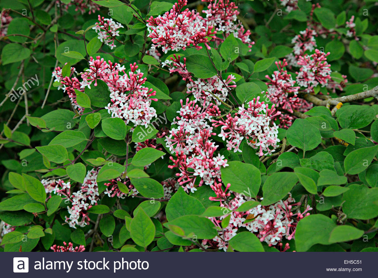 syringa pubescens subsp microphylla 39 superba 39 agm stock photo royalty free image 79409933 alamy. Black Bedroom Furniture Sets. Home Design Ideas