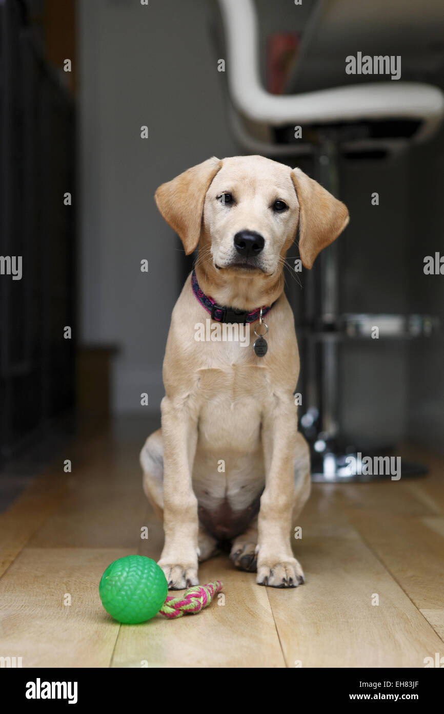 Yellow Labrador Retriever Puppy Aged 12 Weeks Old Sat