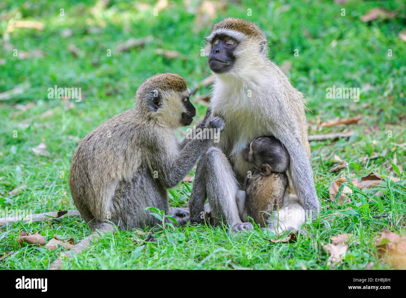 bliss-adult-female-vervet-monkey-being-g