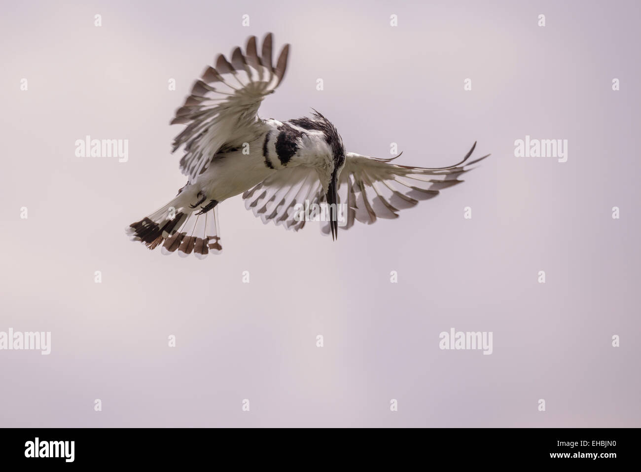 pied-kingfisher-hovers-above-lake-wings-