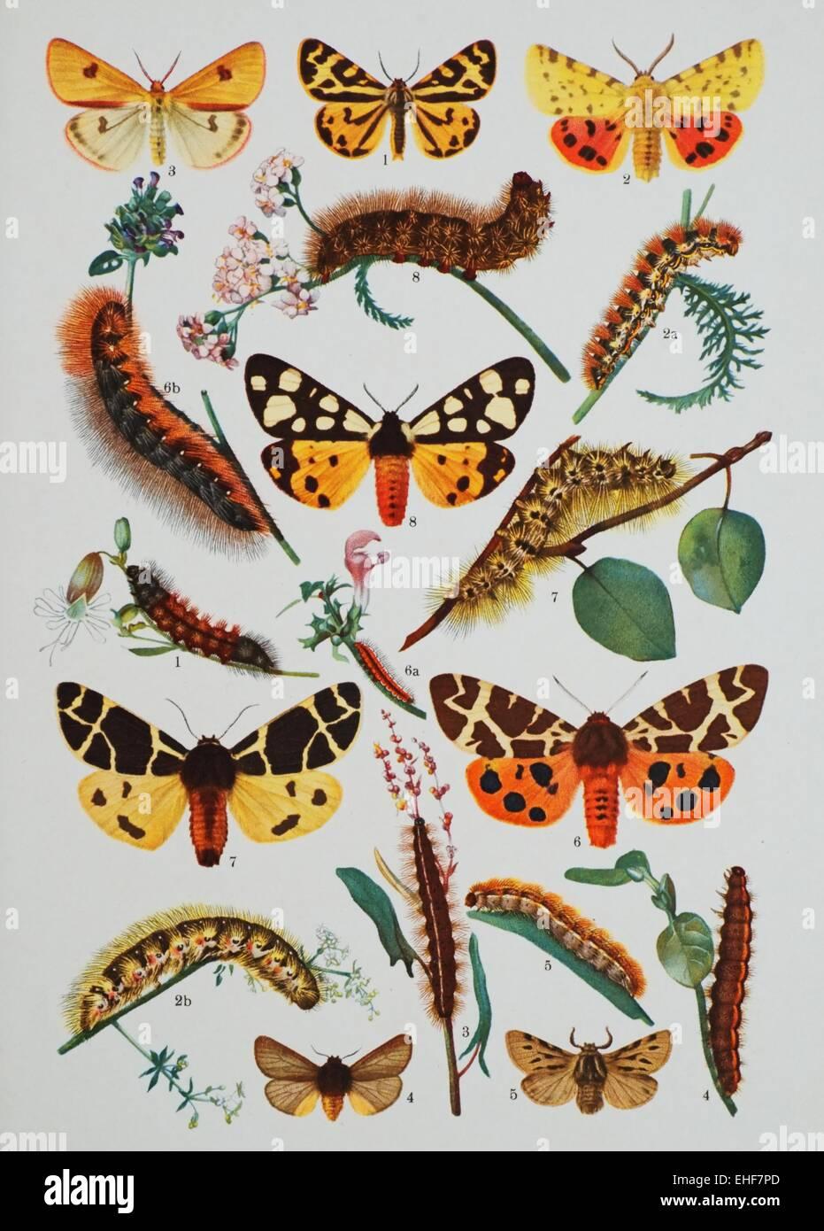Butterfly scientific illustration
