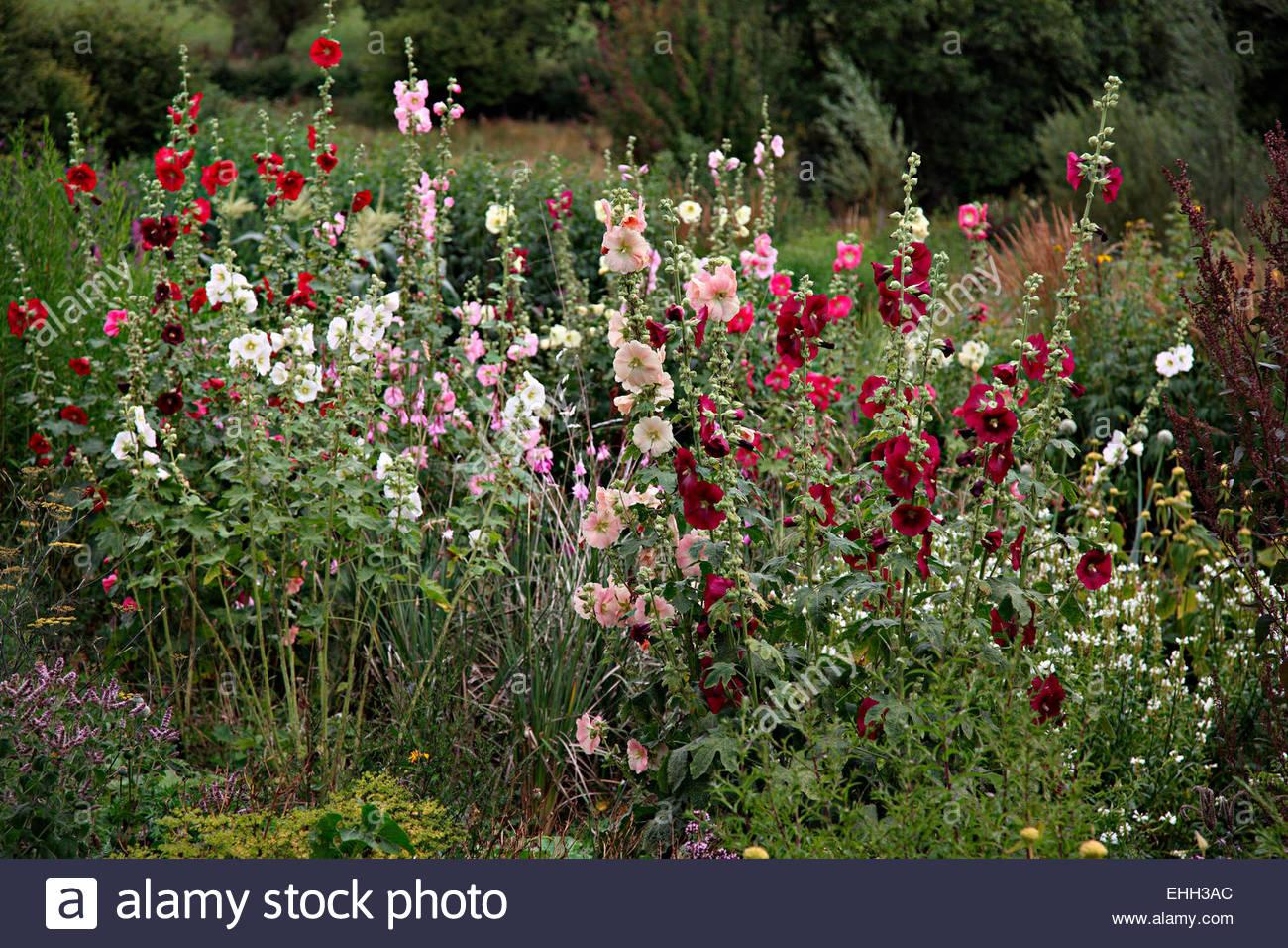 Alcea rosea hollyhocks in noel kingsbury and jo eliot 39 s for Garden designers at home noel kingsbury