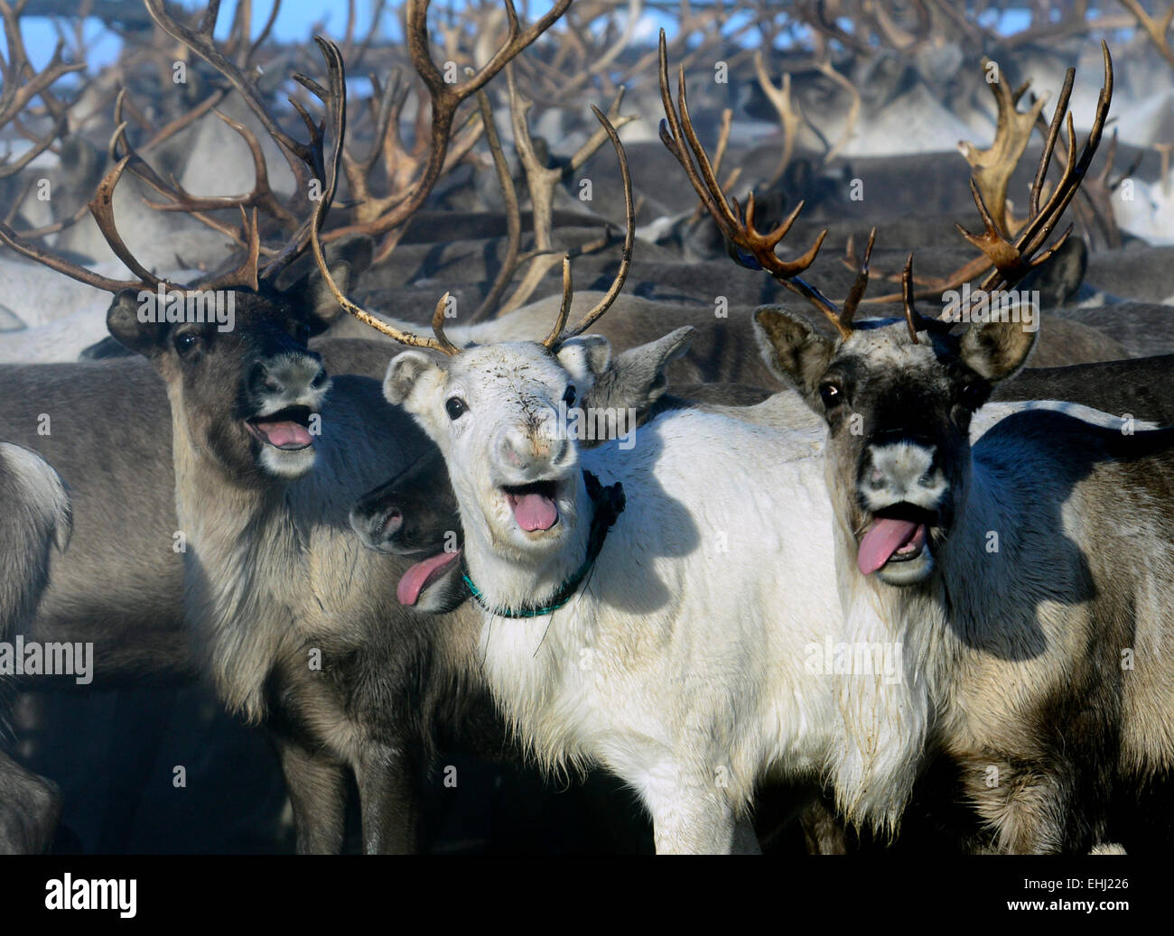 reindeer breeding stock photos u0026 reindeer breeding stock images