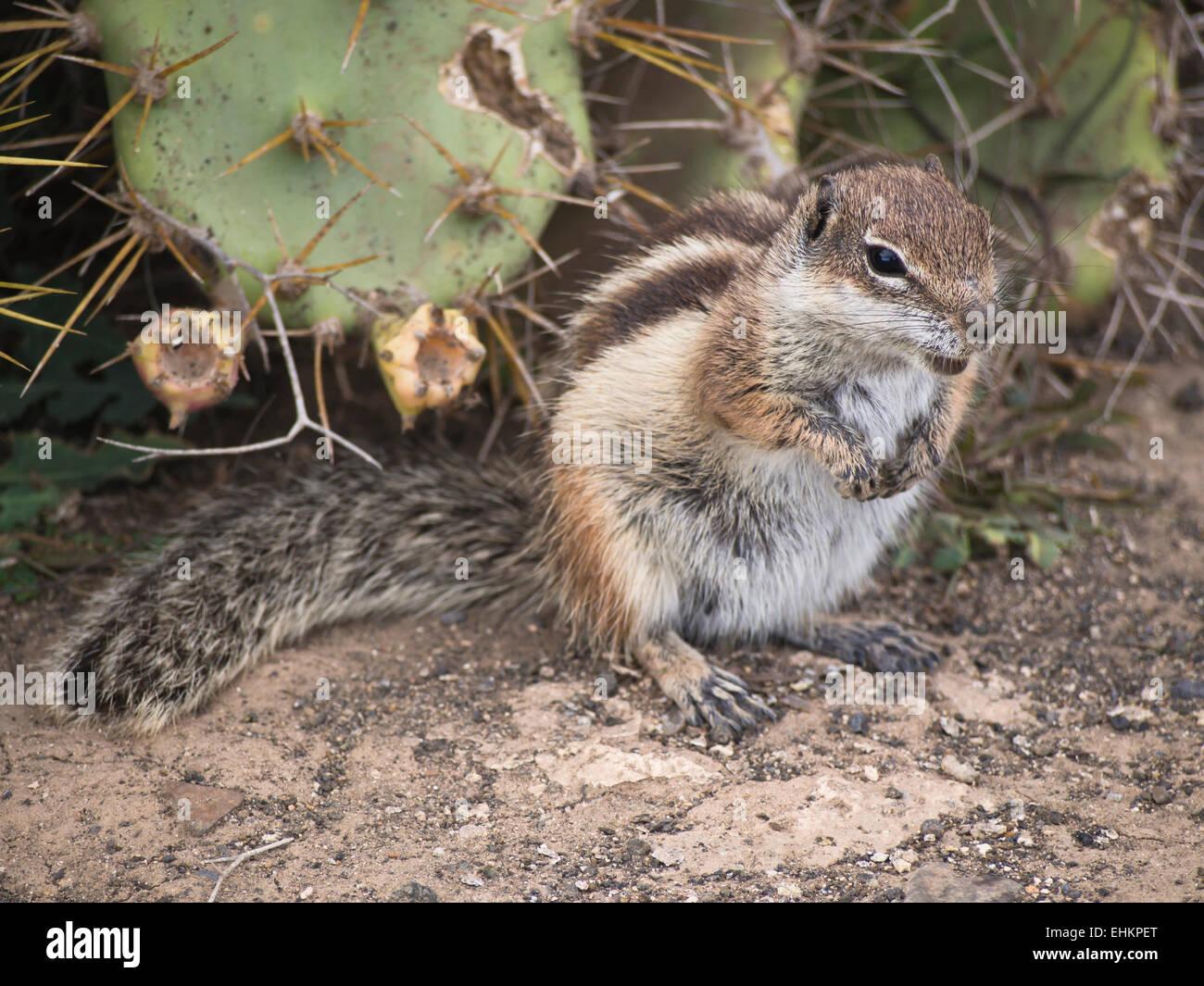 barbary-ground-squirrel-atlantoxerus-get