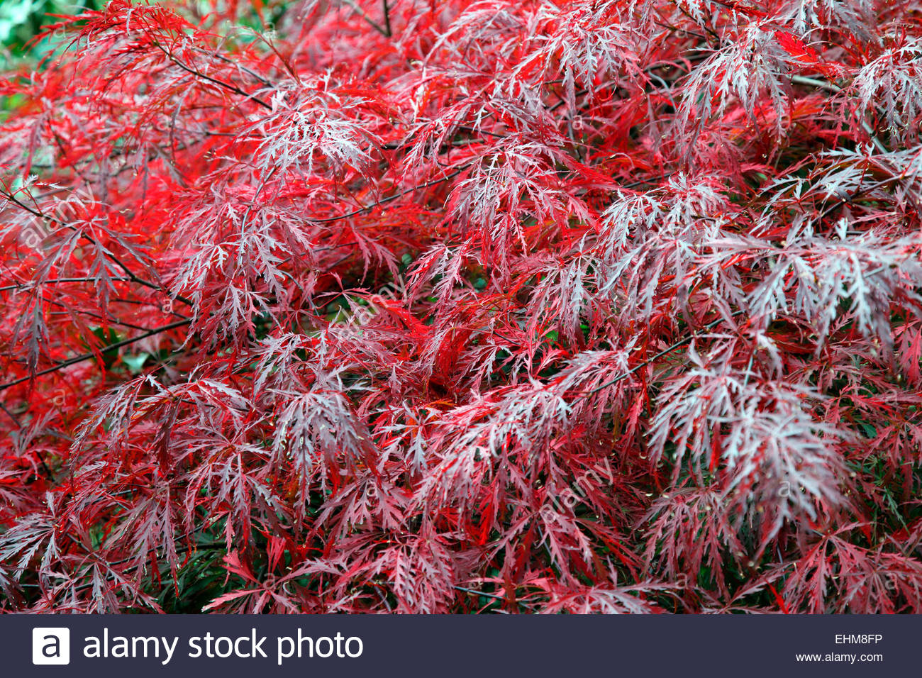 acer palmatum var dissectum 39 garnet 39 agm in early october and stock photo royalty free image. Black Bedroom Furniture Sets. Home Design Ideas